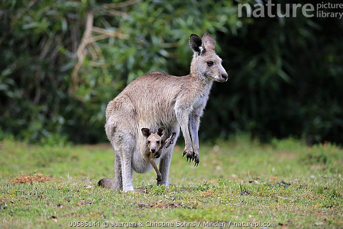 Eastern Grey Kangaroo (Macropus giganteus) mother with joey, Merry Beach, New South Wales, Australia, Adult, Australia, Baby, Carrying, Color Image, Day, Eastern Grey Kangaroo, Endemic, Female, Full Length, Horizontal, Joey, Looking at Camera, Macropus giganteus, Marsupial, Merry Beach, Mother, New South Wales, Nobody, Outdoors, Parent, Photography, Pouch, Side View, Two Animals, Wildlife,Eastern Grey Kangaroo,Australia, Juergen & Christine Sohns