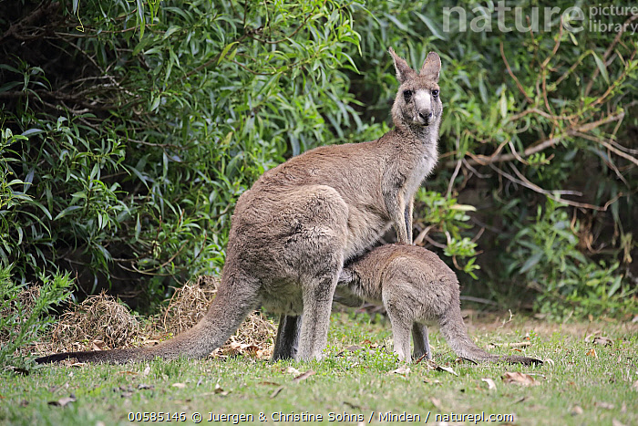 Eastern Grey Kangaroo (Macropus giganteus) mother nursing joey, Merry Beach, New South Wales, Australia, Adult, Australia, Baby, Color Image, Day, Eastern Grey Kangaroo, Endemic, Feeding, Female, Full Length, Horizontal, Joey, Macropus giganteus, Marsupial, Merry Beach, Mother, New South Wales, Nobody, Nursing, Outdoors, Parent, Parenting, Photography, Pouch, Side View, Two Animals, Wildlife,Eastern Grey Kangaroo,Australia, Juergen & Christine Sohns