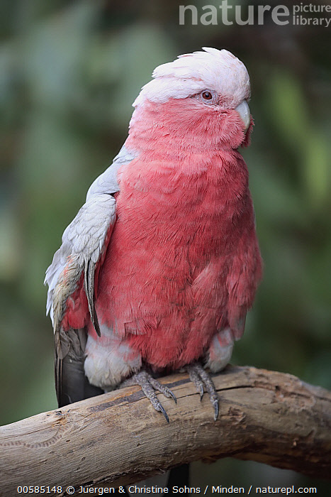 Galah (Eolophus roseicapilla), Parndana, Kangaroo Island, South Australia, Australia, Adult, Australia, Color Image, Day, Endemic, Eolophus roseicapilla, Full Length, Galah, Kangaroo Island, Nobody, One Animal, Outdoors, Parrot, Parndana, Photography, Pink, Side View, South Australia, Vertical, Wildlife,Galah,Australia, Juergen & Christine Sohns