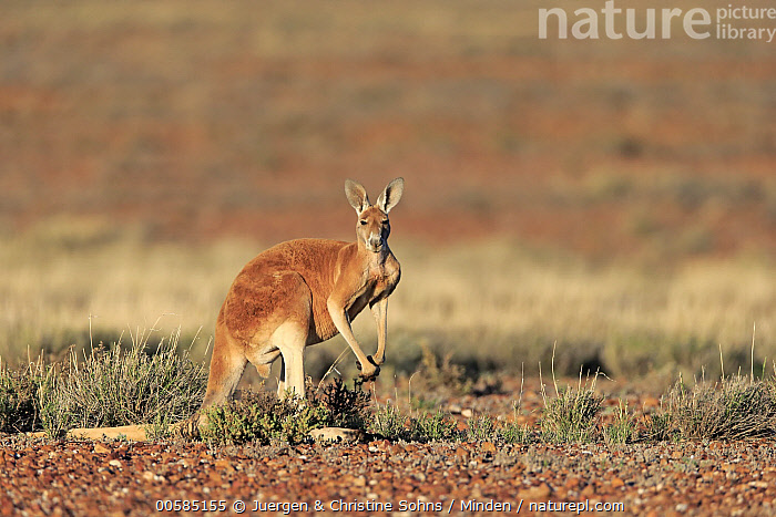 Red Kangaroo (Macropus rufus) male, Sturt National Park, New South Wales, Australia, Adult, Australia, Color Image, Day, Endemic, Full Length, Horizontal, Looking at Camera, Macropus rufus, Male, Marsupial, New South Wales, Nobody, One Animal, Outdoors, Photography, Red Kangaroo, Side View, Sturt National Park, Wildlife,Red Kangaroo,Australia, Juergen & Christine Sohns