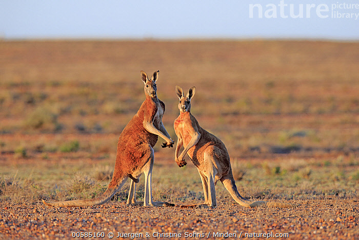 Red Kangaroo (Macropus rufus) males, Sturt National Park, New South Wales, Australia, Adult, Australia, Color Image, Day, Endemic, Full Length, Horizontal, Looking at Camera, Macropus rufus, Male, Marsupial, New South Wales, Nobody, Outdoors, Photography, Red Kangaroo, Side View, Sturt National Park, Two Animals, Wildlife,Red Kangaroo,Australia, Juergen & Christine Sohns