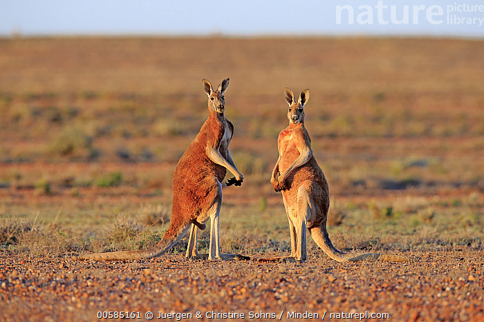 Red Kangaroo (Macropus rufus) males, Sturt National Park, New South Wales, Australia  ,  Adult, Australia, Color Image, Day, Endemic, Full Length, Horizontal, Looking at Camera, Macropus rufus, Male, Marsupial, New South Wales, Nobody, Outdoors, Photography, Red Kangaroo, Side View, Sturt National Park, Two Animals, Wildlife,Red Kangaroo,Australia  ,  Juergen & Christine Sohns