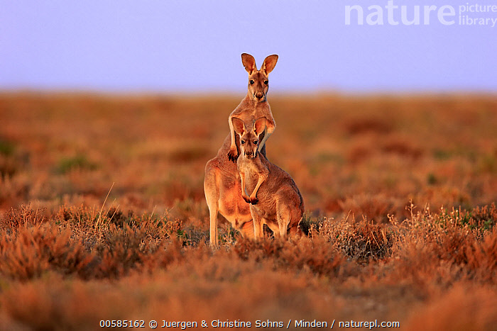 Red Kangaroo (Macropus rufus) males, Sturt National Park, New South Wales, Australia  ,  Adult, Australia, Color Image, Day, Endemic, Front View, Full Length, Horizontal, Looking at Camera, Macropus rufus, Male, Marsupial, New South Wales, Nobody, Outdoors, Photography, Red Kangaroo, Side View, Sturt National Park, Two Animals, Wildlife,Red Kangaroo,Australia  ,  Juergen & Christine Sohns