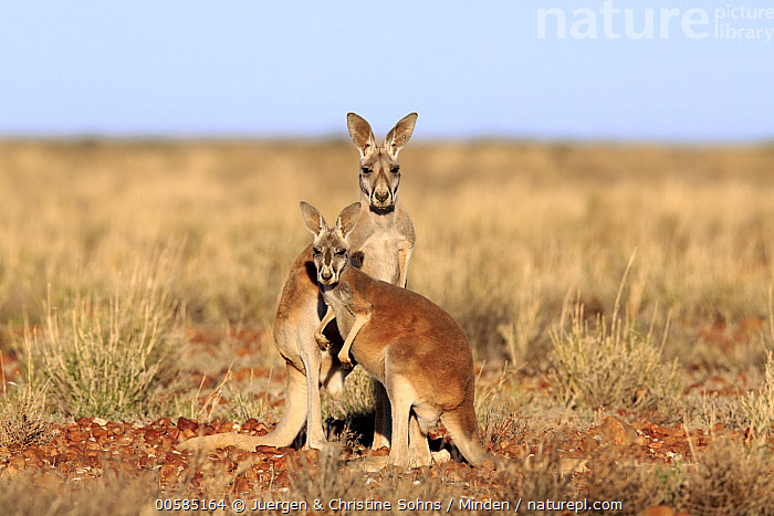 Red Kangaroo (Macropus rufus) males, Sturt National Park, New South Wales, Australia, Adult, Australia, Color Image, Day, Endemic, Front View, Full Length, Horizontal, Looking at Camera, Macropus rufus, Male, Marsupial, New South Wales, Nobody, Outdoors, Photography, Red Kangaroo, Side View, Sturt National Park, Two Animals, Wildlife,Red Kangaroo,Australia, Juergen & Christine Sohns