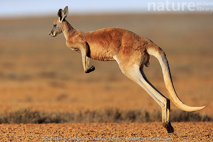 Red Kangaroo (Macropus rufus) jumping, Sturt National Park, New South Wales, Australia, Adult, Australia, Color Image, Day, Endemic, Full Length, Horizontal, Jumping, Macropus rufus, Marsupial, New South Wales, Nobody, One Animal, Outdoors, Photography, Red Kangaroo, Side View, Sturt National Park, Wildlife,Red Kangaroo,Australia, Juergen & Christine Sohns