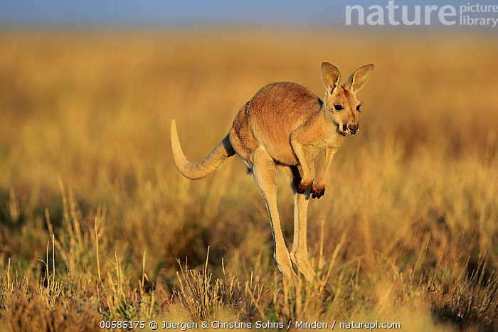 Red Kangaroo (Macropus rufus) juvenile jumping, Sturt National Park, New South Wales, Australia, Adult, Australia, Color Image, Day, Endemic, Full Length, Horizontal, Jumping, Juvenile, Macropus rufus, Marsupial, New South Wales, Nobody, One Animal, Outdoors, Photography, Red Kangaroo, Side View, Sturt National Park, Wildlife,Red Kangaroo,Australia, Juergen & Christine Sohns