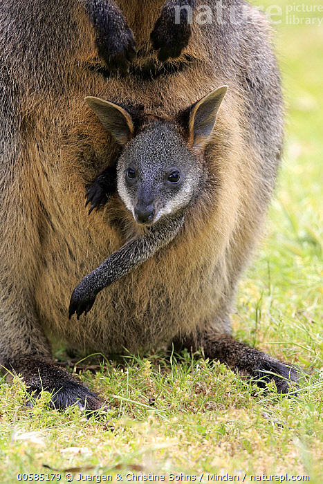 Swamp Wallaby (Wallabia bicolor) mother and joey, Mount Lofty, South Australia, Australia  ,  Adult, Australia, Baby, Carrying, Color Image, Day, Endemic, Female, Front View, Head and Shoulders, Joey, Looking at Camera, Marsupial, Mother, Mount Lofty, Nobody, Outdoors, Parent, Photography, Pouch, South Australia, Swamp Wallaby, Two Animals, Vertical, Wallabia bicolor, Wildlife,Swamp Wallaby,Australia  ,  Juergen & Christine Sohns