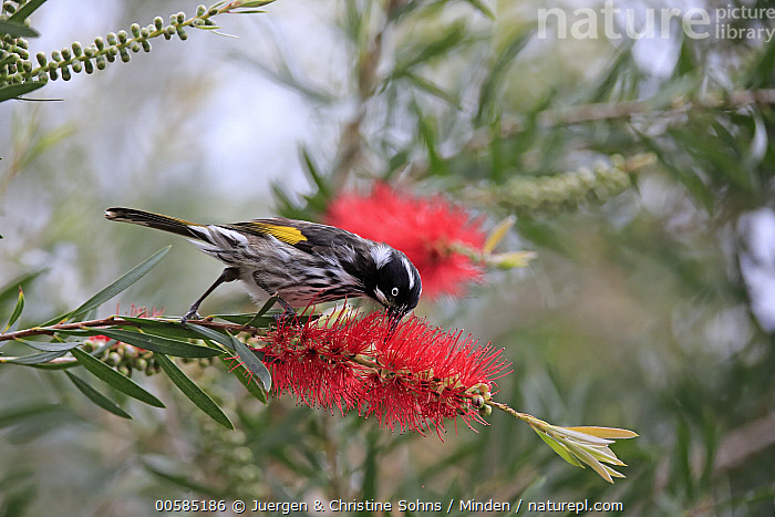 New Holland Honeyeater (Phylidonyris novaehollandiae) feeding on flower nectar, Parndana, Kangaroo Island, South Australia, Australia  ,  Adult, Australia, Color Image, Day, Feeding, Flower, Full Length, Horizontal, Kangaroo Island, Nectar, New Holland Honeyeater, Nobody, One Animal, Outdoors, Parndana, Photography, Phylidonyris novaehollandiae, Side View, Songbird, South Australia, Wildlife,New Holland Honeyeater,Australia  ,  Juergen & Christine Sohns