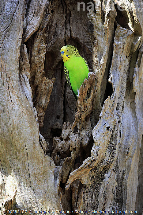 Budgerigar (Melopsittacus undulatus) male at nest cavity, Mount Lofty, South Australia, Australia  ,  Adult, Australia, Budgerigar, Color Image, Day, Full Length, Male, Melopsittacus undulatus, Mount Lofty, Nest Cavity, Nobody, One Animal, Outdoors, Parrot, Photography, Side View, South Australia, Vertical, Wildlife,Budgerigar,Australia  ,  Juergen & Christine Sohns