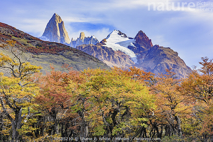 Forest in autumn near mountains, Mount Fitz Roy, Patagonia, Chile, Autumn, Blue Sky, Chile, Color Image, Day, Fall Colors, Forest, Horizontal, Landscape, Mountain, Mountain Range, Mount Fitz Roy, Nobody, Outdoors, Patagonia, Peak, Photography, Yellow, Shane P. White