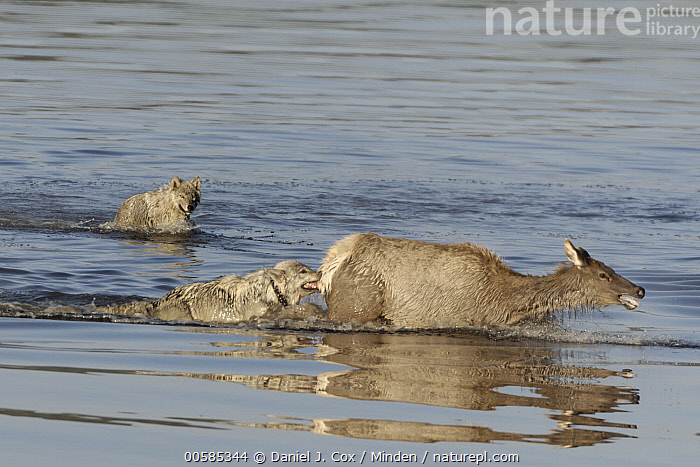 Gray Wolf (Canis lupus) pair predating female Elk (Cervus elaphus) crossing river, Alum Creek, Yellowstone National Park, Wyoming, sequence 1 of 4, Adult, Alum Creek, Attacking, Biting, Canis lupus, Cervus elaphus, Chasing, Color Image, Crossing, Day, Elk, Female, Fleeing, Full Length, Gray Wolf, Horizontal, Nobody, Outdoors, Photography, Predating, Predator, Prey, Pursuing, Sequence, Side View, Three Animals, Wading, Wildlife, Wyoming, Yellowstone National Park,Gray Wolf,Elk,Cervus elaphus,Wyoming, USA, Daniel J. Cox