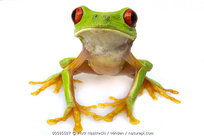 Red-eyed Tree Frog (Agalychnis callidryas), Belize  ,  Adult, Agalychnis callidryas, Belize, Color Image, Cut Out, Day, Front View, Full Length, Green, Horizontal, Indoors, Looking at Camera, Nobody, One Animal, Photography, Red-eyed Tree Frog, Studio, White Background, Wildlife,Red-eyed Tree Frog,Belize  ,  Piotr Naskrecki