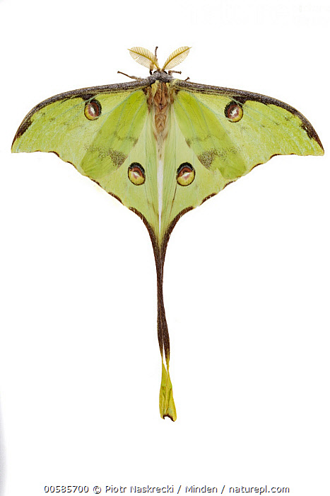 African Moon Moth (Argema mimosae), Gorongosa National Park, Mozambique  ,  Adult, African Moon Moth, Argema mimosae, Color Image, Cut Out, Day, False Eyespot, Full Length, Gorongosa National Park, Indoors, Mozambique, Nobody, One Animal, Photography, Studio, Top View, Vertical, White Background, Wildlife,African Moon Moth,Mozambique  ,  Piotr Naskrecki