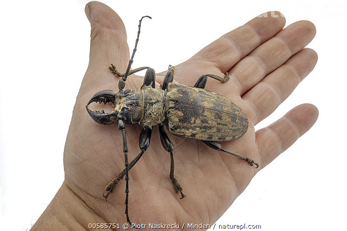 Longhorn Beetle (Tithoes confinis) on hand, Gorongosa National Park, Mozambique, Adult, Caucasian Appearance, Color Image, Cut Out, Day, Full Length, Gorongosa National Park, Hand, Holding, Horizontal, Indoors, Large, Longhorn Beetle, Mozambique, One Animal, One Person, Photography, Studio, Tithoes confinis, Top View, White Background, Wildlife,Longhorn Beetle,Mozambique, Piotr Naskrecki