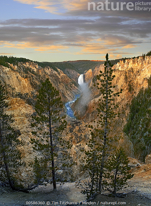 Conifers and Lower Yellowstone Falls, Yellowstone River, Grand Canyon of Yellowstone, Yellowstone National Park, Wyoming, Color Image, Conifer, Day, Grand Canyon of Yellowstone, Landscape, Lower Yellowstone Falls, Nobody, Outdoors, Photography, Vertical, Wyoming, Yellowstone National Park, Yellowstone River,Wyoming, USA, Tim Fitzharris