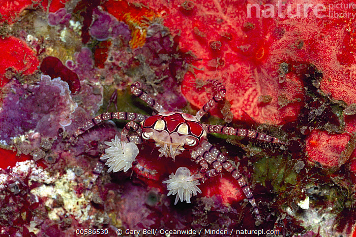 Boxing Crab (Lybia tessellata) holding sea anemone for defense, Bali, Indonesia  ,  Adult, Bali, Boxing Crab, Color Image, Day, Full Length, Holding, Horizontal, Indonesia, Lybia tessellata, Nobody, Outdoors, Photography, Sea Anemone, Three Animals, Top View, Tool Use, Underwater, Wildlife  ,  Gary Bell/ Oceanwide