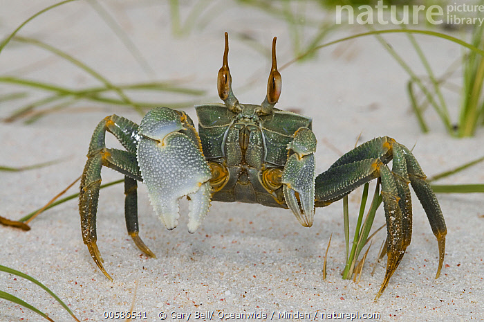 Ghost Crab (Ocypode ceratophthalma), Keeling Islands, Australia  ,  Adult, Australia, Color Image, Day, Front View, Full Length, Ghost Crab, Horizontal, Keeling Islands, Looking at Camera, Nobody, Ocypode ceratophthalma, One Animal, Outdoors, Photography, Wildlife  ,  Gary Bell/ Oceanwide