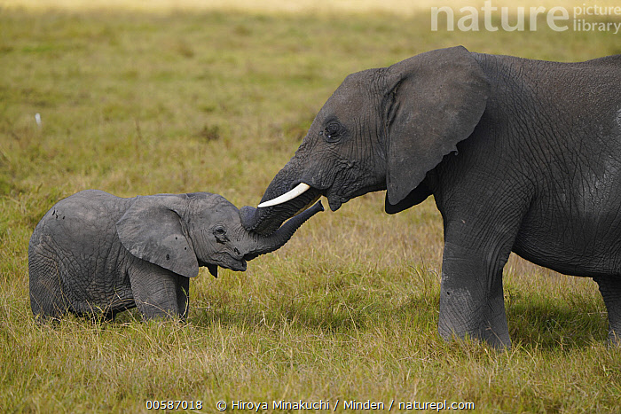 African Elephant (Loxodonta africana) mother and calf nuzzling, Amboseli National Park, Kenya  ,  Adult, African Elephant, Amboseli National Park, Baby, Bonding, Calf, Color Image, Cute, Day, Female, Full Length, Horizontal, Kenya, Loxodonta africana, Mother, Nobody, Nuzzling, Outdoors, Parent, Photography, Side View, Threatened Species, Touching, Two Animals, Vulnerable Species, Waist Up, Wildlife  ,  Hiroya Minakuchi