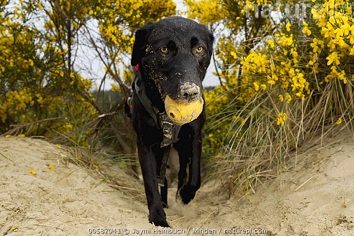 Domestic Dog (Canis familiaris) named Hooper, a scent detection dog with Conservation Canines, carrying toy, Oregon Dunes National Recreation Area, Oregon, Adult, Canis familiaris, Carrying, Color Image, Conservation Canines, Day, Domestic Dog, Front View, Full Length, Horizontal, Looking at Camera, Nobody, One Animal, Oregon, Oregon Dunes National Recreation Area, Outdoors, Photography, Scent Detection Dog, Toy, Jaymi Heimbuch