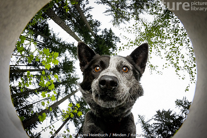 Domestic Dog (Canis familiaris) named Dio, a scent detection dog with Conservation Canines, smelling scent, Pack Forest, Eatonville, Washington, Adult, Canis familiaris, Close Up, Color Image, Conservation Canines, Day, Domestic Dog, Eatonville, Face, Front View, Head and Shoulders, Horizontal, Looking at Camera, Looking Up, Low Angle View, Nobody, Nose, One Animal, Outdoors, Pack Forest, Photography, Scent Detection Dog, Smelling, Training, Washington, Jaymi Heimbuch