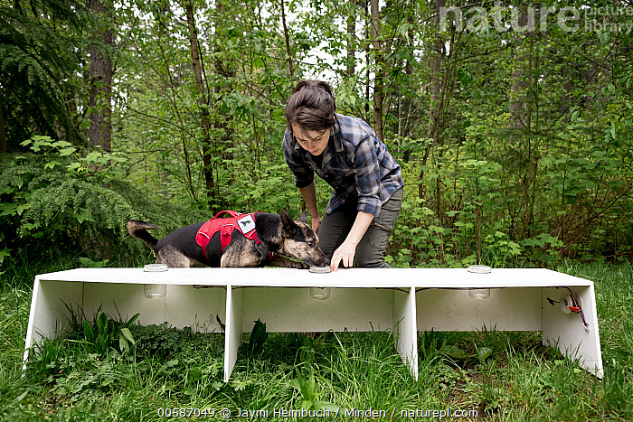 Domestic Dog (Canis familiaris) named Skye, a scent detection dog with Conservation Canines, being trained by field technician Suzie Marlow, Pack Forest, Eatonville, Washington  ,  Adult, Canis familiaris, Caucasian Appearance, Color Image, Conservation Canines, Day, Domestic Dog, Eatonville, Female, Front View, Full Length, Handler, Horizontal, One Animal, One Person, Outdoors, Pack Forest, Photography, Scent Detection Dog, Side View, Smelling, Suzie Marlow, Technician, Training, Washington, Woman, Young Adult  ,  Jaymi Heimbuch