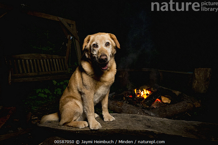 Domestic Dog (Canis familiaris) named Chester, a scent detection dog with Conservation Canines, at campfire, Pack Forest, Eatonville, Washington, Adult, Campfire, Canis familiaris, Color Image, Conservation Canines, Domestic Dog, Eatonville, Full Length, Horizontal, Looking at Camera, Night, Nobody, One Animal, Outdoors, Pack Forest, Photography, Scent Detection Dog, Side View, Washington, Jaymi Heimbuch