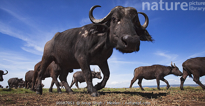 Cape Buffalo (Syncerus caffer) herd, Masai Mara, Kenya  ,  Adult, Cape Buffalo, Color Image, Day, Full Length, Herd, Horizontal, Kenya, Large Group of Animals, Looking at Camera, Low Angle View, Masai Mara, Nobody, Outdoors, Panoramic, Photography, Side View, Syncerus caffer, Wide-angle Lens, Wildlife  ,  Anup Shah