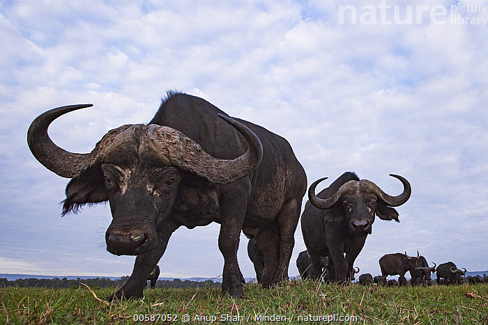 Cape Buffalo (Syncerus caffer) herd, Masai Mara, Kenya  ,  Adult, Cape Buffalo, Color Image, Day, Front View, Full Length, Herd, Horizontal, Kenya, Looking at Camera, Low Angle View, Masai Mara, Medium Group of Animals, Nobody, Outdoors, Photography, Syncerus caffer, Wide-angle Lens, Wildlife  ,  Anup Shah