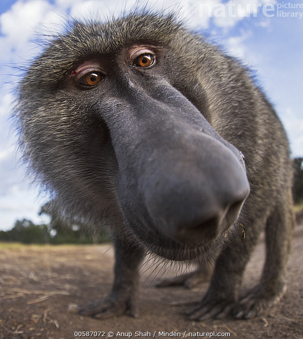 Olive Baboon (Papio anubis) curious male investigating camera, Masai Mara, Kenya, Adult, Close Up, Color Image, Curiosity, Curious, Day, Face, Front View, Full Length, Funny, Humor, Kenya, Looking at Camera, Low Angle View, Male, Masai Mara, Nobody, Nose, Olive Baboon, One Animal, Outdoors, Papio anubis, Photography, Vertical, Wide-angle Lens, Wildlife, Anup Shah