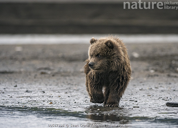 Grizzly Bear (Ursus arctos horribilis) cub on riverbank, Silver Salmon Creek, Lake Clark National Park, Alaska  ,  Alaska, Baby, Color Image, Cub, Day, Front View, Full Length, Grizzly Bear, Horizontal, Lake Clark National Park, Nobody, One Animal, Outdoors, Photography, Silver Salmon Creek, Ursus arctos horribilis, Wildlife  ,  Sean Crane