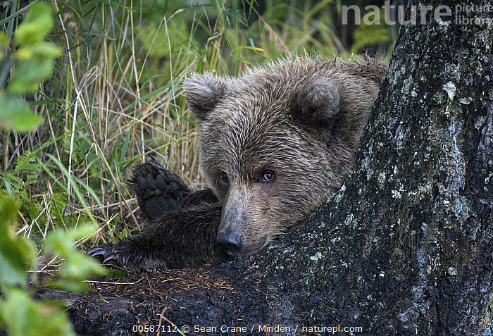 Grizzly Bear (Ursus arctos horribilis) cub, Silver Salmon Creek, Lake Clark National Park, Alaska  ,  Alaska, Baby, Color Image, Cub, Cute, Day, Emoting, Grizzly Bear, Horizontal, Lake Clark National Park, Looking at Camera, Nobody, One Animal, Outdoors, Photography, Side View, Silver Salmon Creek, Ursus arctos horribilis, Waist Up, Wildlife  ,  Sean Crane