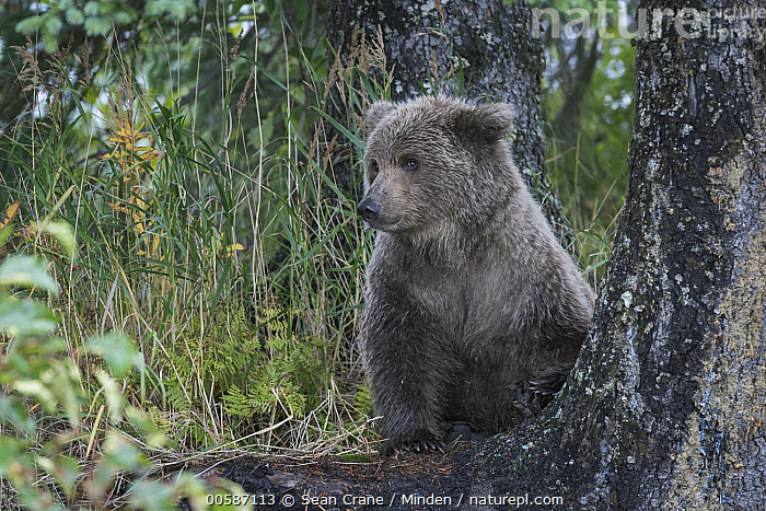 Grizzly Bear (Ursus arctos horribilis) cub, Silver Salmon Creek, Lake Clark National Park, Alaska  ,  Alaska, Baby, Color Image, Cub, Day, Front View, Full Length, Grizzly Bear, Horizontal, Lake Clark National Park, Nobody, One Animal, Outdoors, Photography, Silver Salmon Creek, Ursus arctos horribilis, Wildlife  ,  Sean Crane