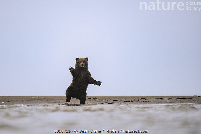 Grizzly Bear (Ursus arctos horribilis) cub standing on beach, Silver Salmon Creek, Lake Clark National Park, Alaska, Alaska, Baby, Color Image, Cub, Dancing, Day, Front View, Full Length, Grizzly Bear, Horizontal, Lake Clark National Park, Looking at Camera, Nobody, One Animal, Outdoors, Photography, Silver Salmon Creek, Standing, Ursus arctos horribilis, Wildlife, Sean Crane
