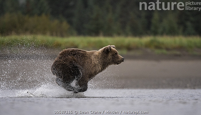 Grizzly Bear (Ursus arctos horribilis) fishing for salmon, Silver Salmon Creek, Lake Clark National Park, Alaska, Adult, Alaska, Color Image, Day, Fishing, Full Length, Grizzly Bear, Horizontal, Lake Clark National Park, Nobody, One Animal, Outdoors, Photography, Running, Side View, Silver Salmon Creek, Splashing, Ursus arctos horribilis, Wildlife, Sean Crane