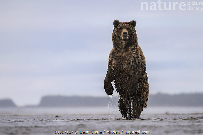 Grizzly Bear (Ursus arctos horribilis) on alert, Silver Salmon Creek, Lake Clark National Park, Alaska  ,  Adult, Alaska, Alert, Color Image, Day, Front View, Full Length, Grizzly Bear, Horizontal, Lake Clark National Park, Looking at Camera, Nobody, One Animal, Outdoors, Photography, Silver Salmon Creek, Standing, Upright, Ursus arctos horribilis, Wildlife  ,  Sean Crane
