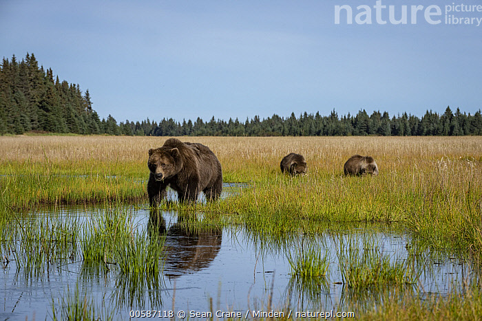 Grizzly Bear (Ursus arctos horribilis) mother and cubs in wetland, Silver Salmon Creek, Lake Clark National Park, Alaska  ,  Adult, Alaska, Animal in Habitat, Baby, Color Image, Cub, Day, Female, Full Length, Grizzly Bear, Horizontal, Lake Clark National Park, Mother, Nobody, Outdoors, Parent, Photography, Side View, Silver Salmon Creek, Three Animals, Ursus arctos horribilis, Wetland, Wildlife  ,  Sean Crane