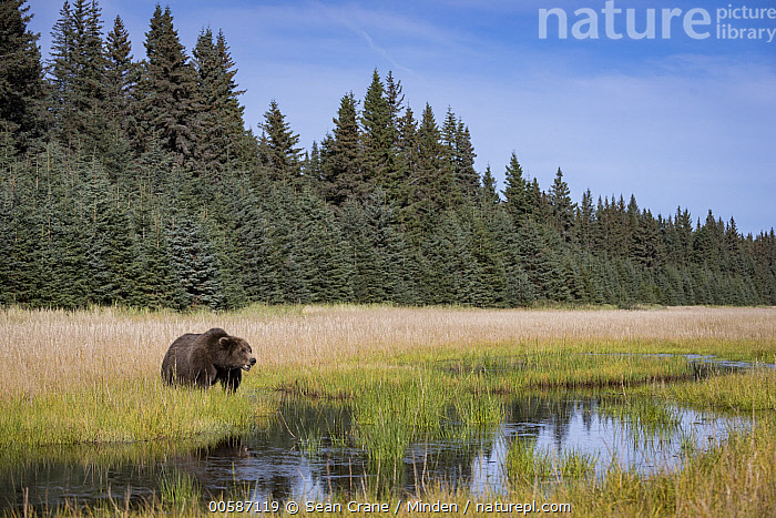 Grizzly Bear (Ursus arctos horribilis) in meadow, Silver Salmon Creek, Lake Clark National Park, Alaska  ,  Adult, Alaska, Animal in Habitat, Animal in Landscape, Color Image, Day, Full Length, Grizzly Bear, Horizontal, Lake Clark National Park, Meadow, Nobody, One Animal, Outdoors, Photography, Side View, Silver Salmon Creek, Ursus arctos horribilis, Wildlife  ,  Sean Crane
