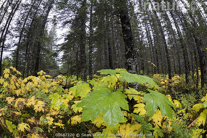 Devil's Club (Oplopanax horridus) in forest, Lake Clark National Park, Alaska, Alaska, Color Image, Day, Devil's Club, Forest, Horizontal, Interior, Lake Clark National Park, Landscape, Leaf, Low Angle View, Nobody, Oplopanax horridus, Outdoors, Photography, Tree, Sean Crane