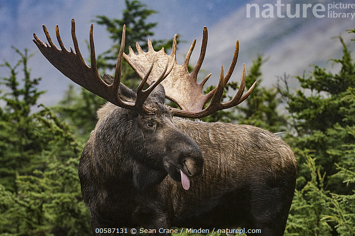 Alaska Moose (Alces alces gigas) bull sticking out tongue, Chugach State Park, Alaska, Adult, Alces alces gigas, Alaska, Alaska Moose, Bull, Chugach State Park, Color Image, Day, Horizontal, Male, Nobody, One Animal, Outdoors, Photography, Side View, Three Quarter Length, Tongue, Wildlife, Sean Crane