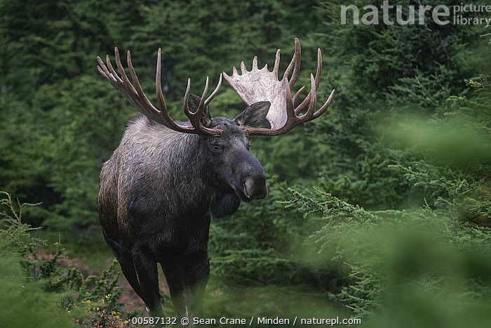 Alaska Moose (Alces alces gigas) bull, Chugach State Park, Alaska, Adult, Alces alces gigas, Alaska, Alaska Moose, Bull, Chugach State Park, Color Image, Day, Horizontal, Male, Nobody, One Animal, Outdoors, Photography, Side View, Three Quarter Length, Wildlife, Sean Crane