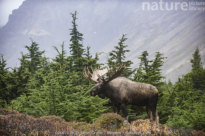 Alaska Moose (Alces alces gigas) bull in autumn, Chugach State Park, Alaska, Adult, Alces alces gigas, Alaska, Alaska Moose, Autumn, Boreal Forest, Bull, Chugach State Park, Color Image, Day, Full Length, Horizontal, Male, Nobody, One Animal, Outdoors, Photography, Side View, Wildlife, Sean Crane