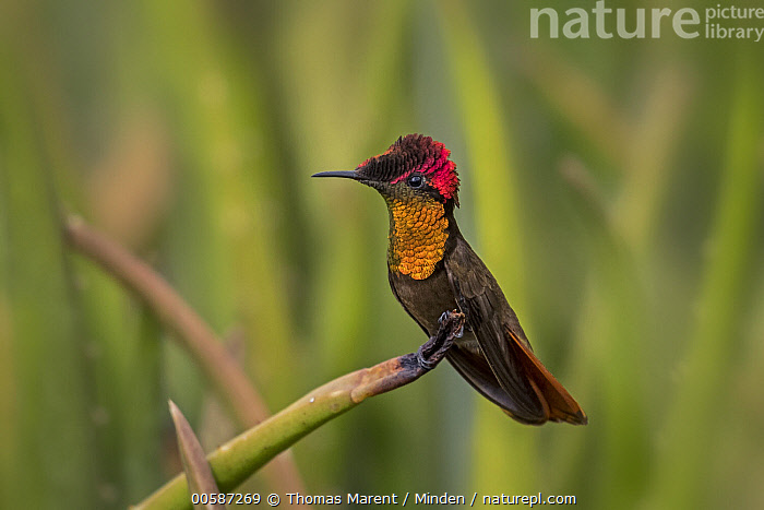 Ruby-topaz Hummingbird (Chrysolampis mosquitus), Valle del Cauca, Colombia  ,  Adult, Chrysolampis mosquitus, Color Image, Colombia, Day, Full Length, Horizontal, Hummingbird, Nobody, One Animal, Outdoors, Photography, Ruby-topaz Hummingbird, Side View, Valle del Cauca, Wildlife  ,  Thomas Marent