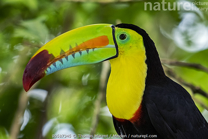 Keel-billed Toucan (Ramphastos sulfuratus), native to Central and South America  ,  Adult, Captive, Color Image, Day, Horizontal, Keel-billed Toucan, Nobody, One Animal, Outdoors, Photography, Ramphastos sulfuratus, Side View, Waist Up, Wildlife  ,  Thomas Marent