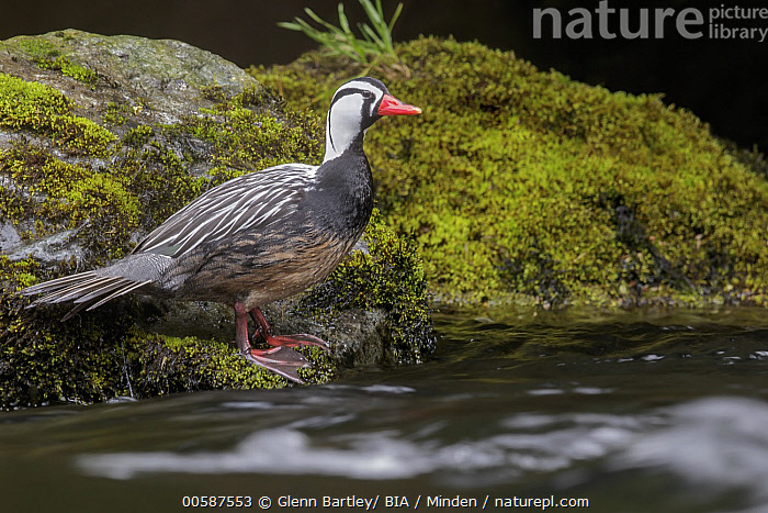 Torrent Duck (Merganetta armata) male, Andes, Chile  ,  Adult, Andes, Chile, Color Image, Day, Full Length, Horizontal, Male, Merganetta armata, Nobody, One Animal, Outdoors, Photography, Side View, Torrent Duck, Waterfowl, Wildlife  ,  Glenn Bartley/ BIA