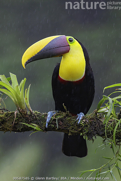 Black-mandibled Toucan (Ramphastos ambiguus) during rainfall, Costa Rica  ,  Adult, Black-mandibled Toucan, Color Image, Costa Rica, Day, Front View, Full Length, Nobody, One Animal, Outdoors, Photography, Rainfall, Ramphastos ambiguus, Vertical, Wildlife  ,  Glenn Bartley/ BIA
