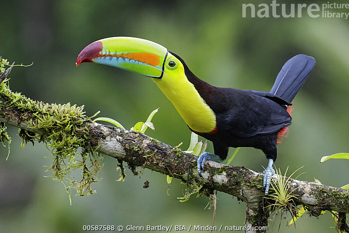 Keel-billed Toucan (Ramphastos sulfuratus), Costa Rica, Adult, Color Image, Costa Rica, Day, Full Length, Horizontal, Keel-billed Toucan, Nobody, One Animal, Outdoors, Photography, Ramphastos sulfuratus, Side View, Wildlife, Glenn Bartley/ BIA