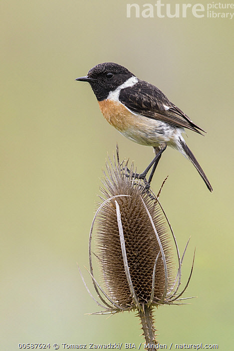 European Stonechat (Saxicola rubicola) male on Wild Teasel (Dipsacus fullonum), Poland  ,  Adult, Color Image, Day, Dipsacus fullonum, European Stonechat, Full Length, Male, Nobody, One Animal, Outdoors, Photography, Poland, Saxicola rubicola, Side View, Songbird, Vertical, Wildlife, Wild Teasel  ,  Tomasz Zawadzki/ BIA