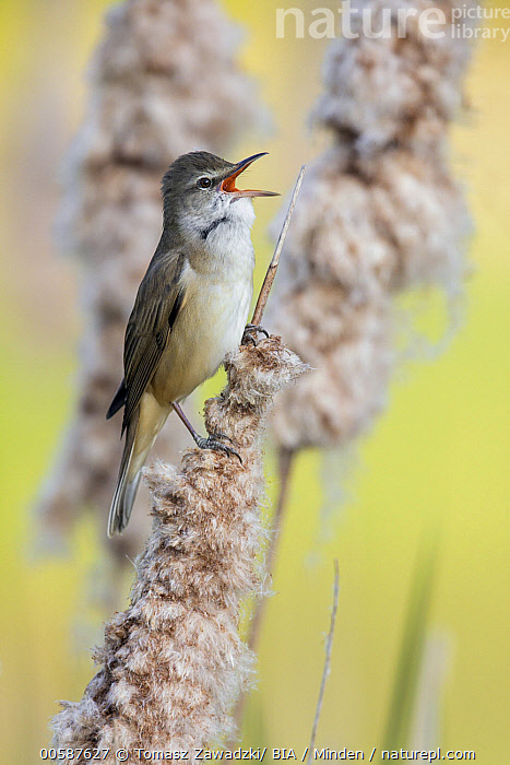Great Reed-Warbler (Acrocephalus arundinaceus) calling, Poland, Acrocephalus arundinaceus, Adult, Calling, Color Image, Day, Full Length, Great Reed-Warbler, Nobody, One Animal, Open Mouth, Outdoors, Photography, Poland, Side View, Singing, Songbird, Vertical, Wildlife, Tomasz Zawadzki/ BIA