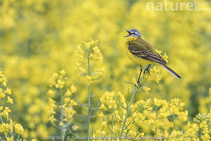 Blue-headed Wagtail (Motacilla flava) calling, Poland, Adult, Blue-headed Wagtail, Calling, Color Image, Day, Full Length, Horizontal, Motacilla flava, Nobody, One Animal, Open Mouth, Outdoors, Photography, Poland, Side View, Singing, Songbird, Wildlife, Yellow, Tomasz Zawadzki/ BIA