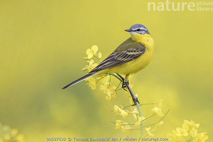Blue-headed Wagtail (Motacilla flava), Poland, Adult, Blue-headed Wagtail, Color Image, Day, Full Length, Horizontal, Motacilla flava, Nobody, One Animal, Outdoors, Photography, Poland, Side View, Songbird, Wildlife, Tomasz Zawadzki/ BIA